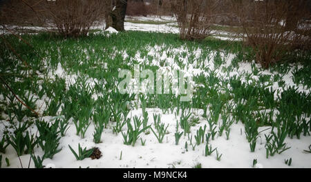Spring flowers sprout from the snow - Stock Image