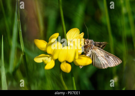 Mother shipton moth perched on and feeding from a birdsfoot trefoil flower - Stock Image