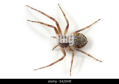 Female Philodromus (aureolus?) spider, part of the family Philodromidae - Running crab spiders. Isolated on white - Stock Image