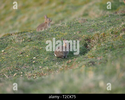 Barton Hills, Bedfordshire, UK. 1st Apr 2019. Early Easter Bunnies on Barton Hills Nature Reserve in Bedfordshire, England, UK. Credit: Parmorama/Alamy Live News - Stock Image
