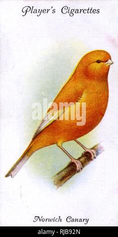 Norwich Canary (Plainhead). - Stock Image