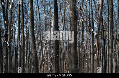 Tree trunks in nature with snow on the ground covering the forest floor and the woodland trees - Stock Image