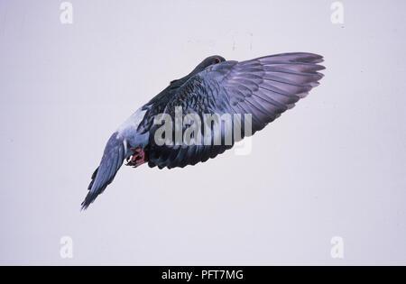 Pigeon Flying - Stock Image
