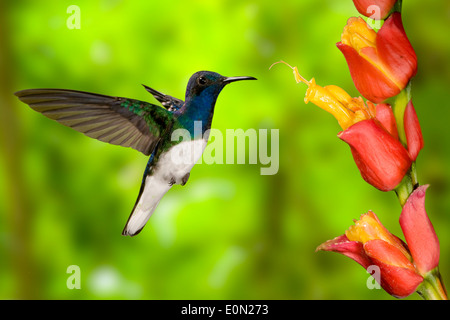 White-necked Jacobin sugarfeeding and nectar-feeding, flying, Costa Rica, Central America (Florisuga mellivora) - Stock Image