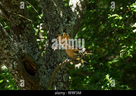 Hoopoe, Latin name Upupa epops, perched on a branch next to its nest with crest raised and a grub in its beak - Stock Image
