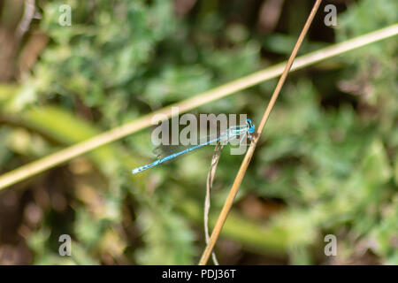 White legged damselfly perched on a golden yellow dry grass stem on the Avon Valley Walk in Chippenham Wiltshire - Stock Image