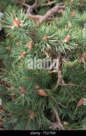 Pinus sylvestris - Scots pine - at the Oregon Garden in Silverton, Oregon, USA. - Stock Image