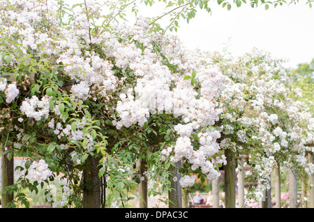 White roses sprawling over a garden walkway - Stock Image