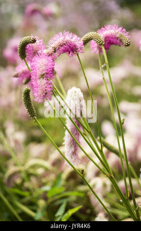 Close up of perennial Sanguisorba Obtusa (Burnet) with fluffy pink flowerheads and stamens - Stock Image
