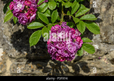 Round cluster of deep pink and mauve rose flowers with green leaves against a wall in the sun - Stock Image