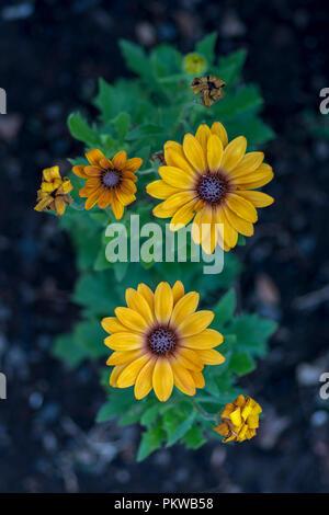 yellow flowers on lava sand - Stock Image