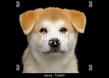 Portrait of Sad Akita Inu Puppy with Spotted nose on Isolated Black Background, front view - Stock Image