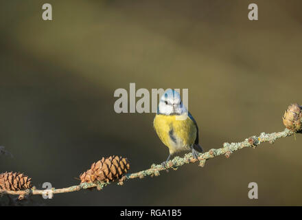 Blue tit, perched on larch twig - Stock Image