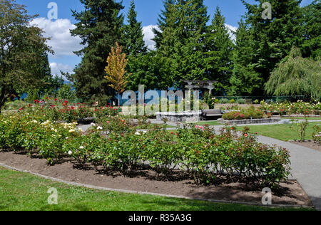 Rose garden in Burnaby Mountain Park.  Burnaby, BC, Canada - Stock Image