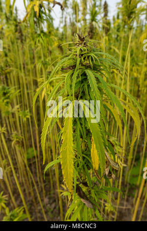 Hemp plant (Cannabis sativa) growing as crop., Industriel hamp 'Cannabis industrialis'. - Stock Image