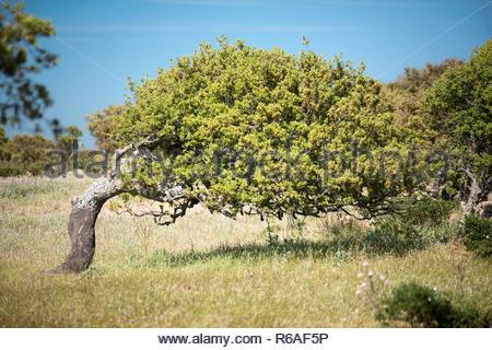 Cork Oaks In Sardegna - Stock Image