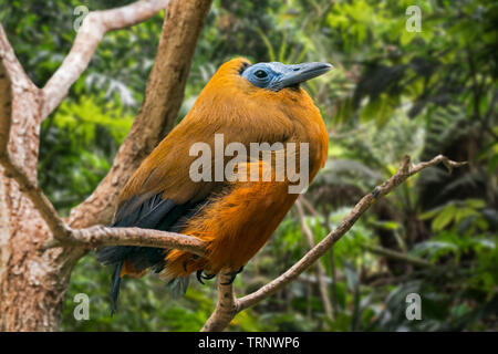 Capuchinbird / calfbird (Perissocephalus tricolor) perched in tree in forest, native to South America - Stock Image