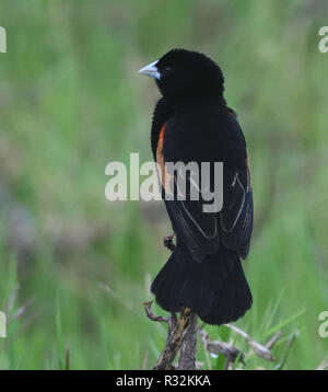 A male fan-tailed widowbird (Euplectes axillaris)  in breeding plumage. Queen Elizabeth National Park, Uganda. - Stock Image