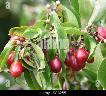 Fruits of Cornelian cherry, European cornel or Cornelian cherry dogwood (Cornus mas) are used in food and drinks - Stock Image