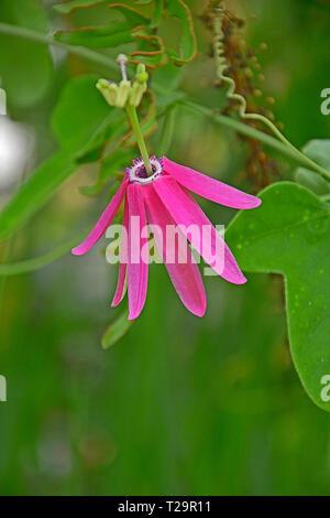 Close up of Passiflora Nigradenia in a garden conservantory - Stock Image