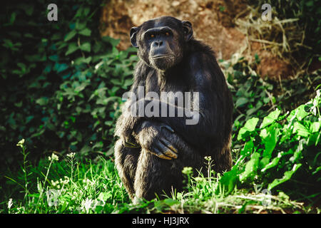 Chimpanzee sitting on grass between rocks looking into the camera lens with a deep look, in Rabat Zoo - Stock Image