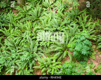 Forest Floor Ferns from Above: A cluster of bright green ferns and other understory plants in a temperate coastal rain forest. - Stock Image