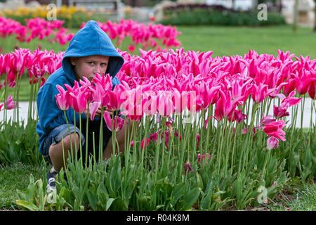 Boy inside of tulip field - Stock Image
