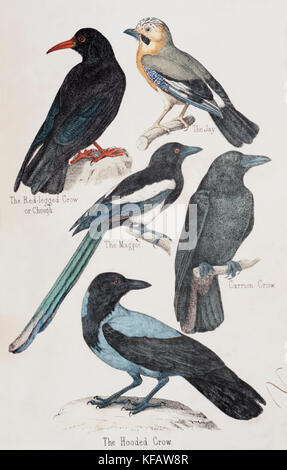 Victorian illustrations of Crow family, Corvids or Corvidae family, with Jay, Magpie,Hooded Crow,Chough, Carrion - Stock Image