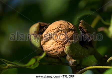 Walnut shell inside its green husk - Stock Image