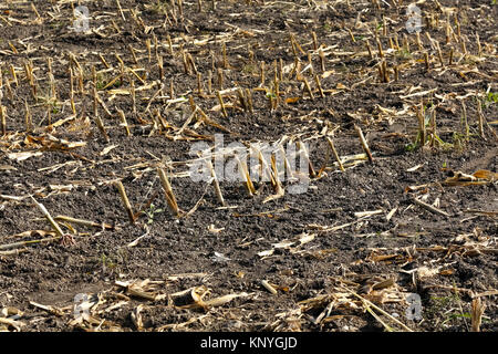 Corn field after the harvest with visible plant residues and fertile soil - Stock Image
