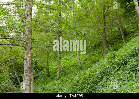 Chinese sweet gum (Liquidambar formosana) aka Formosan gum trees grow in woodland covered with green vegetation on a hill, Hualien County, Taiwan - Stock Image