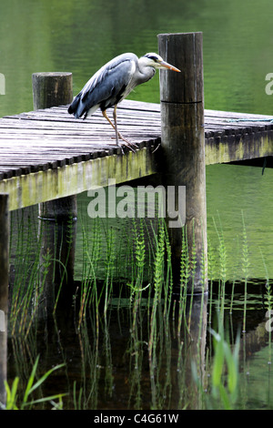 Great Blue Heron - Stock Image