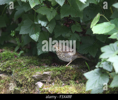 Song thrush Turdus philomenos juvenile resting underneath blackcurrant bushes carmarthenshire July 2015 - Stock Image