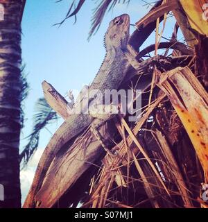 A lizard on a tree in Mauritius. - Stock Image
