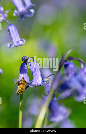 Honey bee collecting nectar pollen from woodland wild bluebell flowers - Stock Image