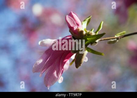 Close-up of a magnolia tree flower blossom at springtime - Stock Image