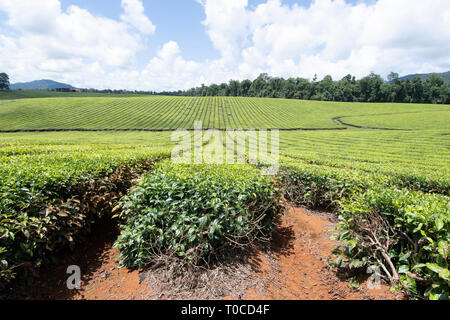 View of a tea plantation in the Atherton Tablelands, Far North Queensland, FNQ, QLD, Australia - Stock Image