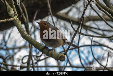 A Robin - Stock Image