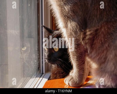 Black tabby cat looing out window with gray tabby in foreground. - Stock Image