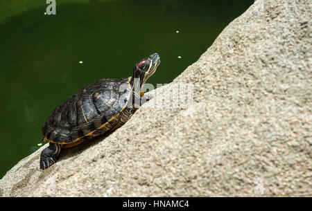 Green turtle sunbathing on a rock in Hong Kong Park - Stock Image