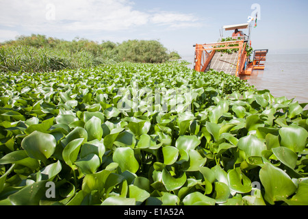 Water Hyacinth (Eichhornia Crassipes) harvester on Lake Victoria. - Stock Image