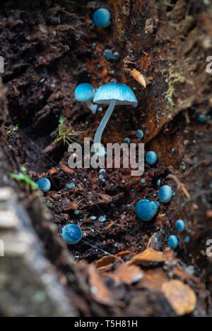 Blue mushrooms, Mycena interrupta fungi or Pixie's Parasols - Stock Image