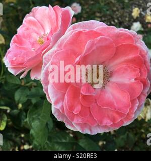 Roses in bloom - Stock Image