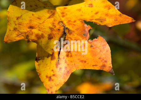 Fall color of a torn Tulip Poplar tree in Atlanta Georgia - Stock Image
