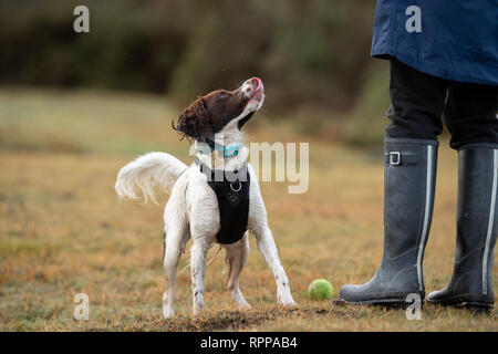 A young English Springer Spaniel( 11 months)  looking up towards owner after retrieving a tennis  ball looking to be thrown again. - Stock Image