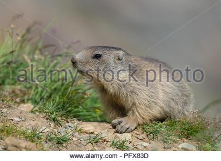 Baby Marmot - Stock Image
