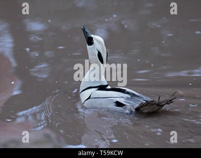 Smew Male (mergellus albellus) - Stock Image