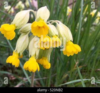 Bright yellow, wild cowslip, growing in Derbyshire , UK - Stock Image