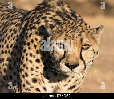Africa, Namibia, Keetmanshoop. Portrait of cheetah. Credit as: Wendy Kaveney / Jaynes Gallery / DanitaDelimont.com - Stock Image