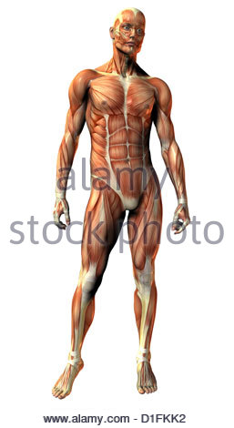 ILLUSTRATION - HUMAN MUSCULATURE - Stock Image